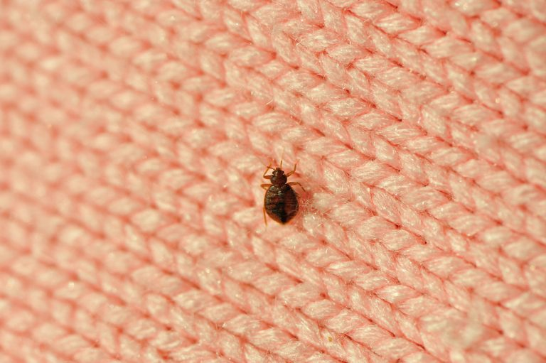 little bed bug walking on the fabric